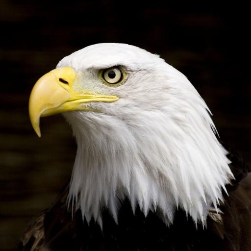 Eagle*