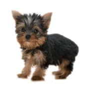 Yorkshire Terrier - Yorkies icon