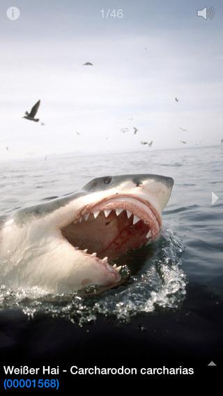 Weißer Hai - ein Mythos © Klaus Jost