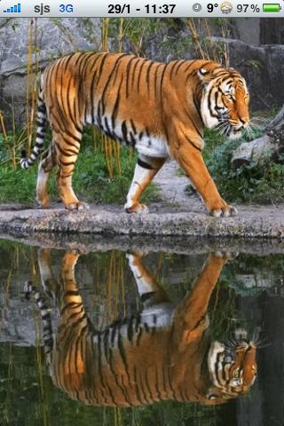 Siberian Tiger Slide Puzzle screenshot #1