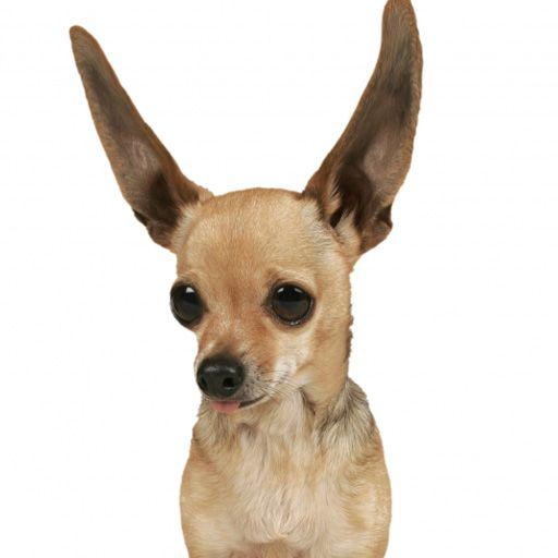 SlidePuzzle - Chihuahua