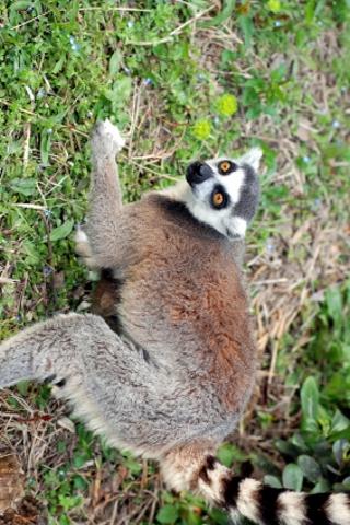 Lemur Slide Puzzle screenshot #1