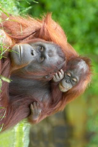 Orangutan Family Slide Puzzle screenshot #1