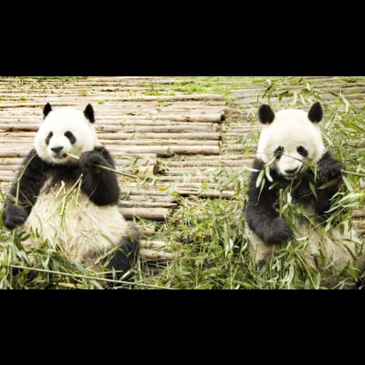 Giant Pandas Slide Puzzle
