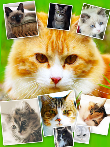Cats & Kittens Wallpapers - Cute Animal Backgrounds and Cat Images screenshot 6
