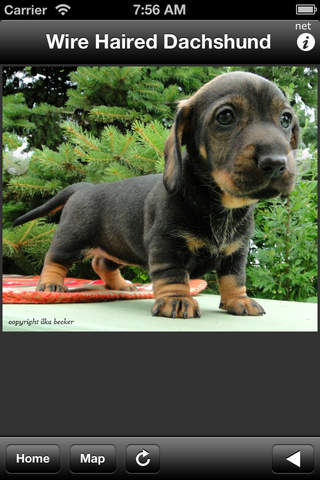 Wire Haired Dachshund - náhled